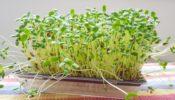 Φύτρα μπρόκολου (broccoli sprouts). Έχουν προστατευτική και πολύ ισχυρή αντικαρκινική  δράση*
